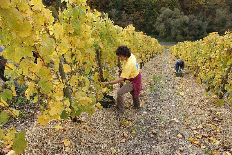 2008-10-26 Traubenlese letzter Tag im Wintricher Simonsberg-28