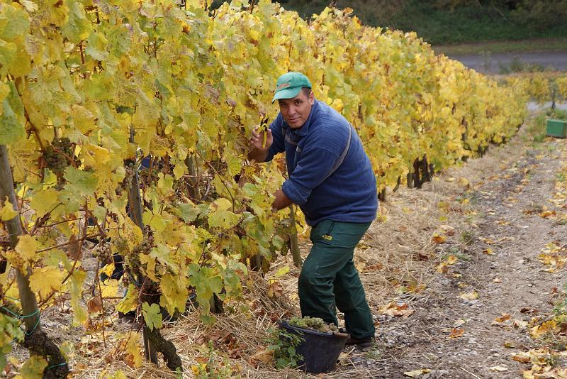 2008-10-26 Traubenlese letzter Tag im Wintricher Simonsberg-36